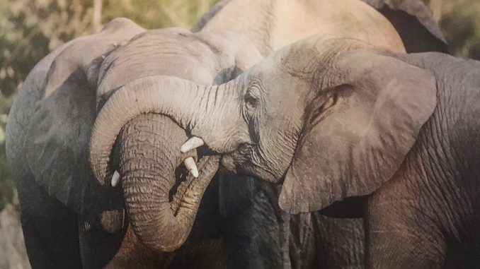 4 elephants Sibling Rivalry by Marshall Lally Photography