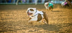Bulldog Derby at Santa Anita Park @ Santa Anita Park